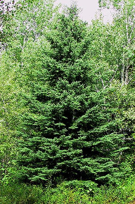 Pourquoi un sapin et pas un autre arbre pour noël ?  Questions et Réponses a