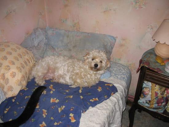 a la suite d 39 un gros kyste mon bichon a subi l 39 ablation d 39 une chaine mammaire r solu chiens. Black Bedroom Furniture Sets. Home Design Ideas
