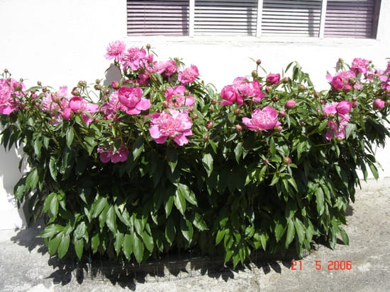 Quand peut on planter des pivoines for Jardin quand planter