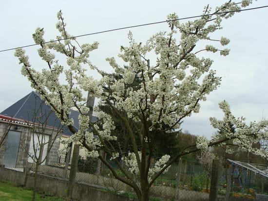 Bonjour quel moment faut il tailler un prunier et comment le traiter tous r solu - A quel moment tailler les rosiers ...