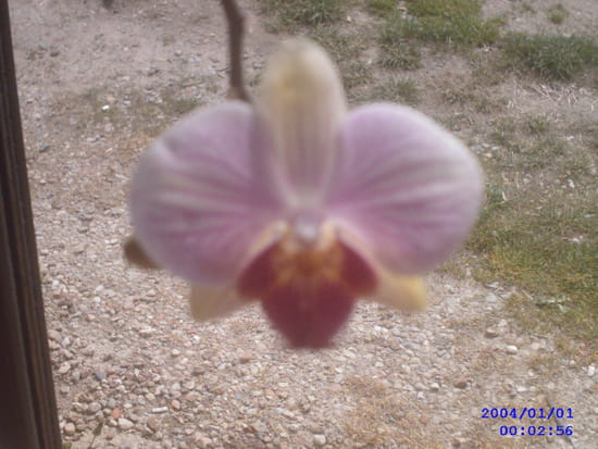 orchidee qui perd ses boutons