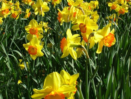 Quand couper les jonquilles et narcisses fan es - Quand couper les tulipes fanees ...