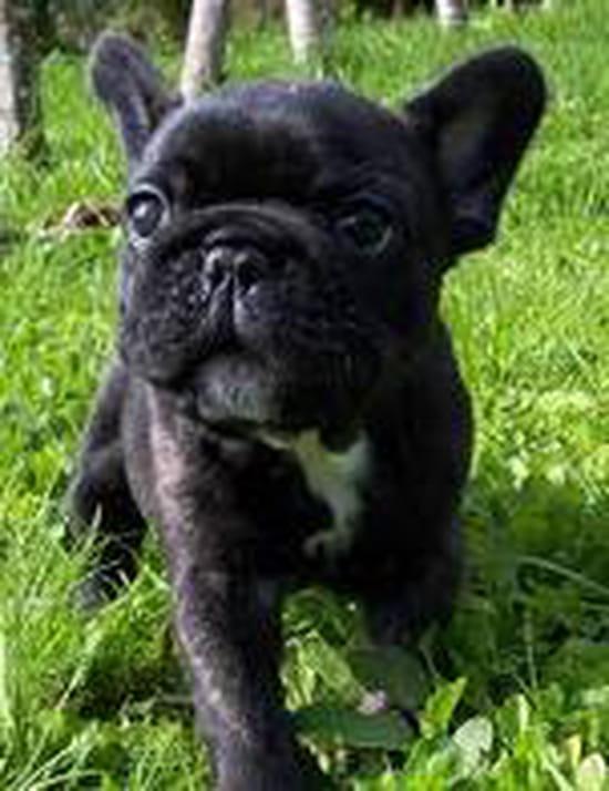 le bouledogue fran ais peut il faire un bon chien de garde et de d fense r solu. Black Bedroom Furniture Sets. Home Design Ideas