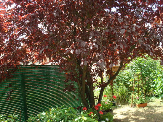 Quel arbre croissance rapide me conseillez vous r solu - Arbre a croissance rapide et feuillage persistant ...