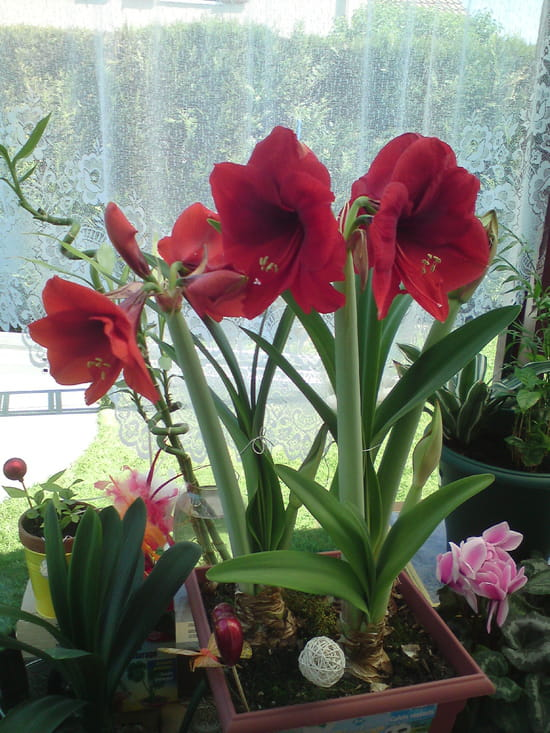 amaryllis qui jaunit