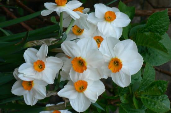 Quand couper les jonquilles et narcisses fan es - Quand faut il couper les fleurs fanees des hortensias ...