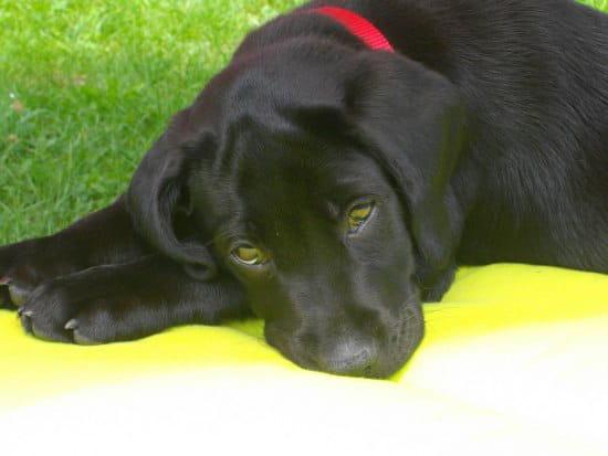 o trouver un ost o pour chien en suisse chiens. Black Bedroom Furniture Sets. Home Design Ideas