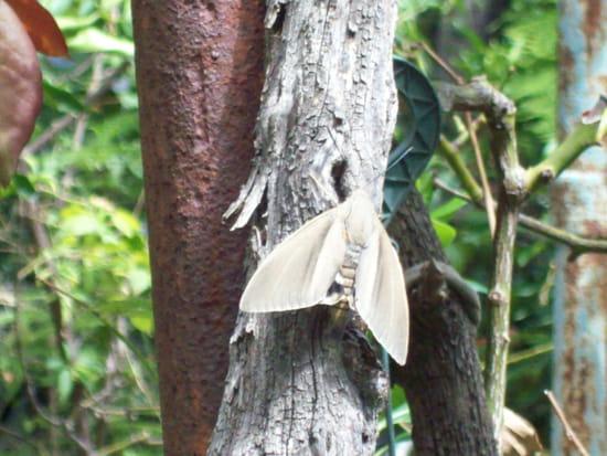comment radiquer le papillon tueur de palmiers paysandisia archon. Black Bedroom Furniture Sets. Home Design Ideas
