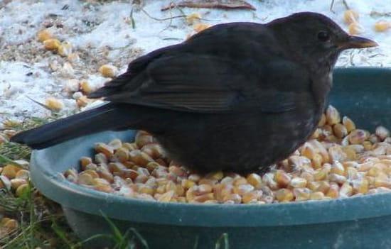 Quel est cet oiseau r solu for Oiseau noir bec jaune