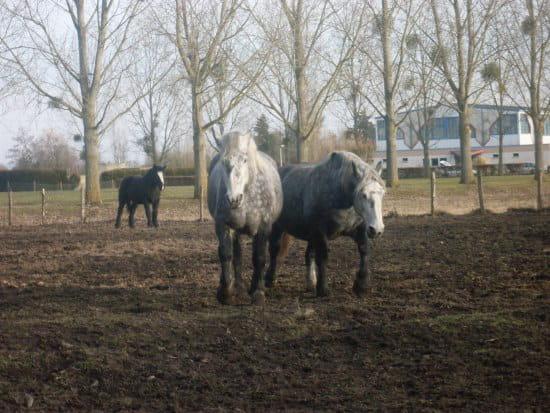 C 39 est un pur sang arabe un cheval de camargue un percheron - Quand mettre du fumier de cheval dans le jardin ...