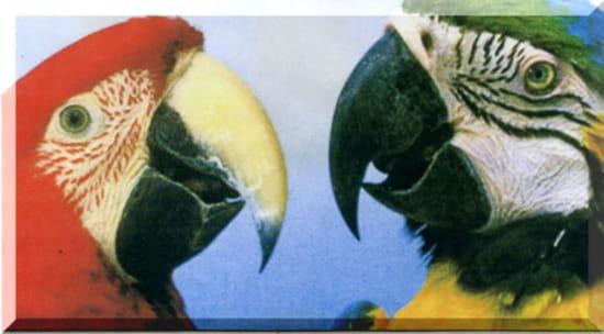 Quelle est la diff rence entre un perroquet et un papagayo - Difference entre cafard et cafard de jardin ...