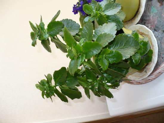 Mon kalenko ne fleurit pas pourquoi r solu - Comment faire refleurir un amaryllis ...