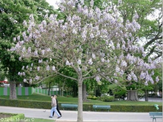Arbres decoratifs croissance rapide for Arbre d ombrage croissance rapide