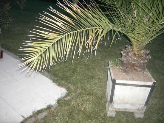 palmiers dont les palmes jaunissent. Black Bedroom Furniture Sets. Home Design Ideas