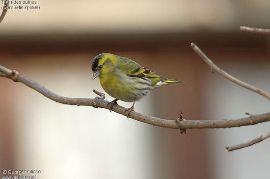 Identification d 39 un petit oiseau r solu caf de la gare for Un petit oiseau