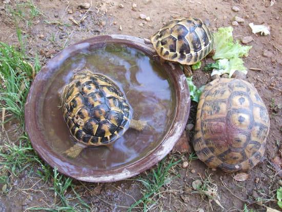 Que mettre au fond de ma caisse pour une tortue terrestre for Avoir une tortue a la maison