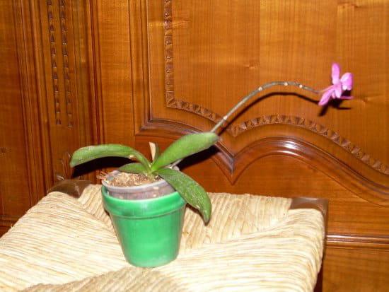 Comment faire des boutures d 39 orchid es r solu - Comment couper la tige d une orchidee apres floraison ...