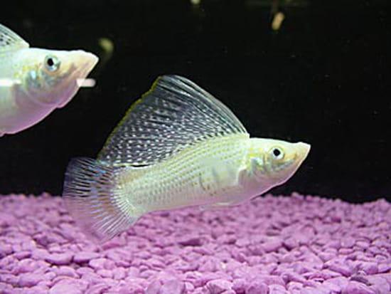 comment refaire le subtrat d 39 un aquarium avec d ja des poissons a l 39 int rieur. Black Bedroom Furniture Sets. Home Design Ideas