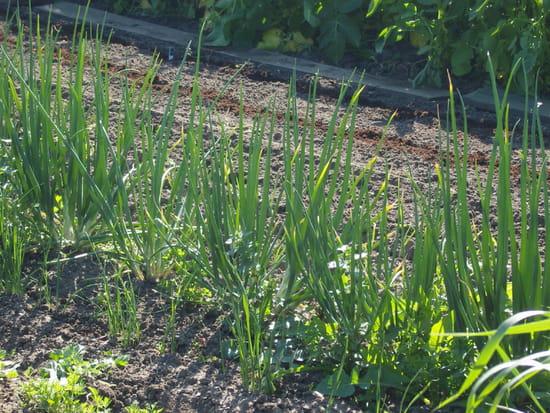 j 39 ai plant des oignons au printemps quand puis je les r colter. Black Bedroom Furniture Sets. Home Design Ideas