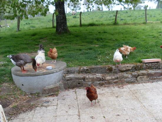 J 39 ai une poule qui pond des oeufs avec une coquille molle que lui manque t il r solu - A quelle age pond une poule ...