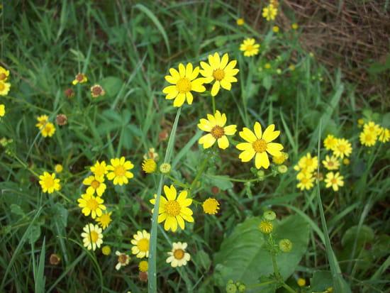 Quelles est cette marguerite jaune r solu fleurs - Comment trouver le nom d une plante ...