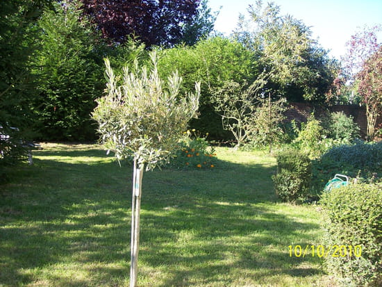 mon olivier qui perd ses feuilles