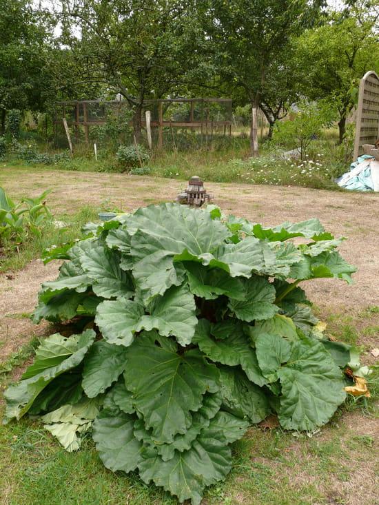 Quand planter des graines de rhubarbe r solu - Quand planter de la pelouse ...