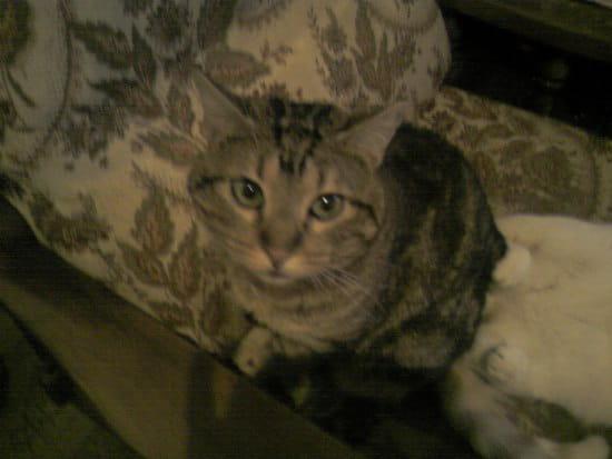 mon chaton de 8 mois fait pipi presque tous les jours sur mon canap 233 au mem r 233 solu chats