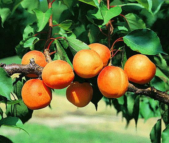 Peut on tailler les abricotiers en janvier r solu - Taille de l abricotier en video ...