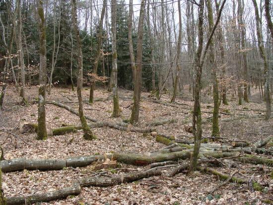 Hetre Bois Dur Ou Tendre : par les feuilles la feuille du hetre est lisse et les 2 limbes vers la