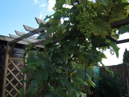 Comment tailler une vigne grimpante - Comment tailler une treille de raisin ...