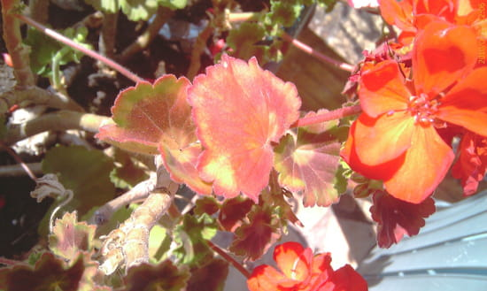 Pourquoi les feuilles de mon g ranium zonale deviennent elles rouges r solu - Geranium feuilles qui jaunissent ...