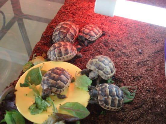 comment couver des oeufs de tortue