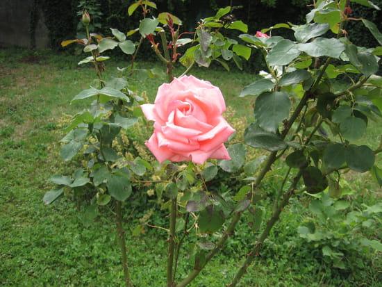 Comment planter un rosier grimpant contre un mur r solu page 2 - Planter un rosier grimpant ...