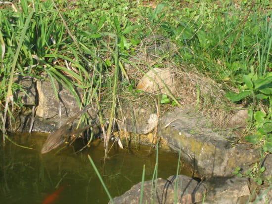 Comment faire fuir les grenouilles qui ont envahi mon - Comment faire fuir les taupes de mon jardin ...