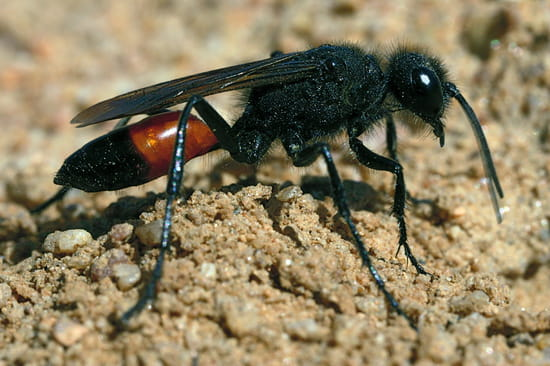 quel est cet insecte r solu salon de th. Black Bedroom Furniture Sets. Home Design Ideas