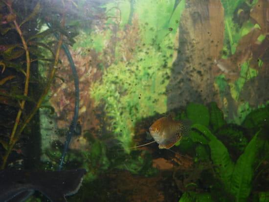 Bonjour et bonsoir je voudrais savoir quel poisson on peu mettre avec un scaler aquariums et - Quel poisson choisir pour un petit aquarium ...