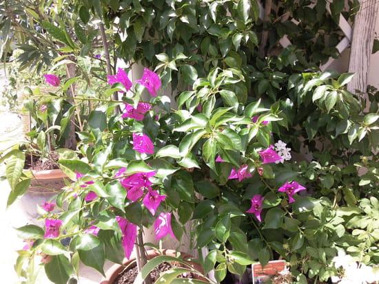 Pourquoi mon bougainvilliers perd il ses feuilles m me jeunes r solu - Poinsettia perd ses feuilles ...