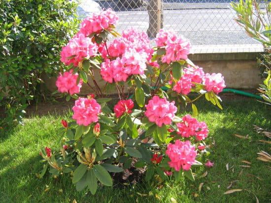 mon rhododendron ne fait pas de fleur que faire. Black Bedroom Furniture Sets. Home Design Ideas