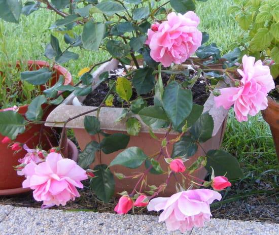 Des soucis avec mes rosiers - Rouille rosier traitement naturel ...