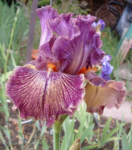 mes iris fleurissent peu pourquoi. Black Bedroom Furniture Sets. Home Design Ideas