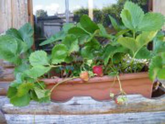 Comment pailler les fraisiers pour l hiver r solu - Comment cueillir des fraises ...