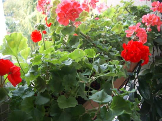 A quel moment mois faut il tailler les geraniums - Quand rentrer les geraniums ...
