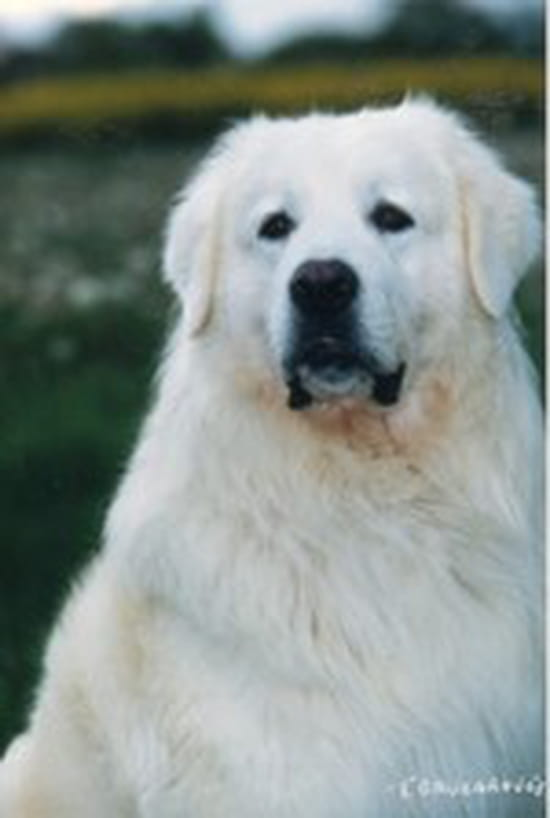 mon chien souffre de fuites urinaires que faire r solu chiens. Black Bedroom Furniture Sets. Home Design Ideas