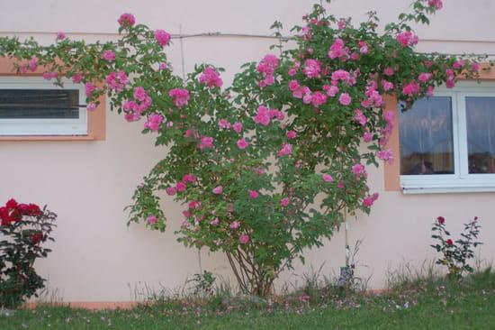 comment planter un rosier grimpant contre un mur r solu. Black Bedroom Furniture Sets. Home Design Ideas