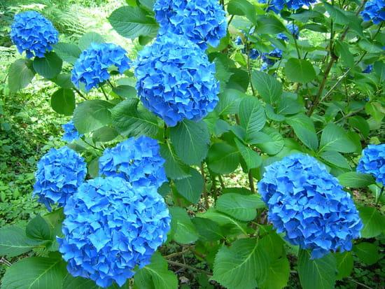 Mon hortensia ne fleurit pas pourquoi r solu - Quand faut il couper les fleurs fanees des hortensias ...