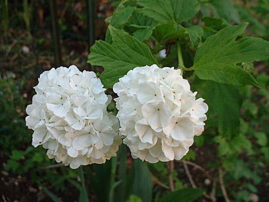 Le muguet est une plante toxique fleurs page 3 - Boule de neige plante ...