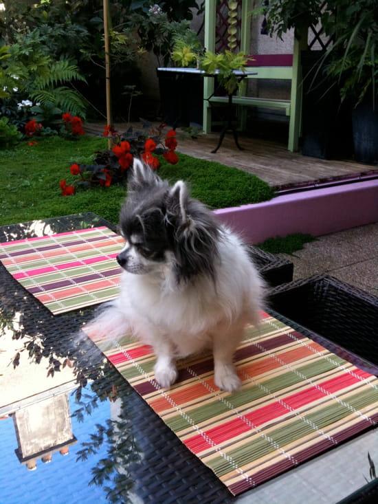 mon chiot chihuahua de 7 mois urine partout et il abime les meubles r solu chiens. Black Bedroom Furniture Sets. Home Design Ideas