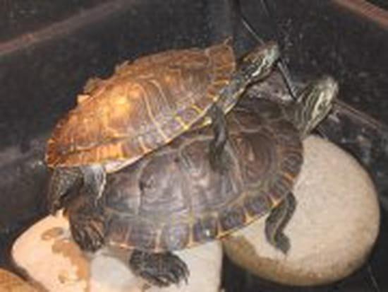 tortue hibernation date