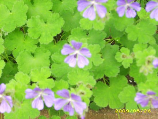 Que faire pour garder mes g raniums r solu - Quand rentrer les geraniums ...